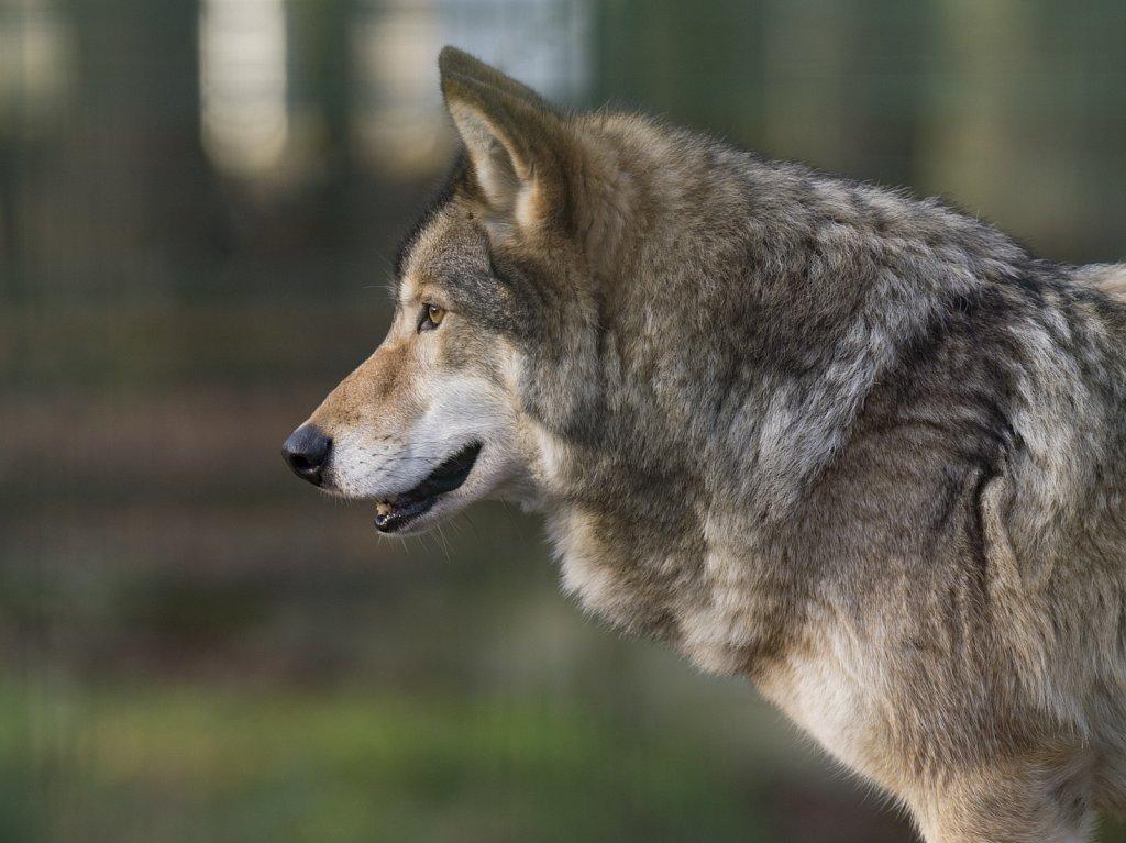 Wolf-8.jpg