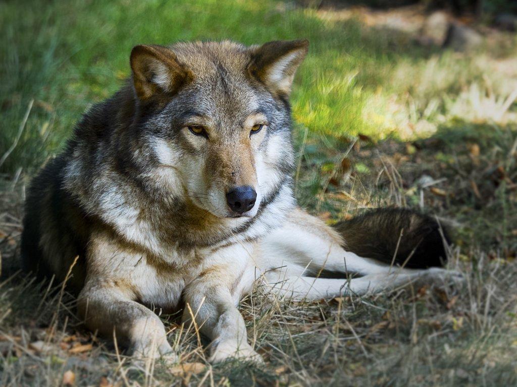 Wolf-20.jpg