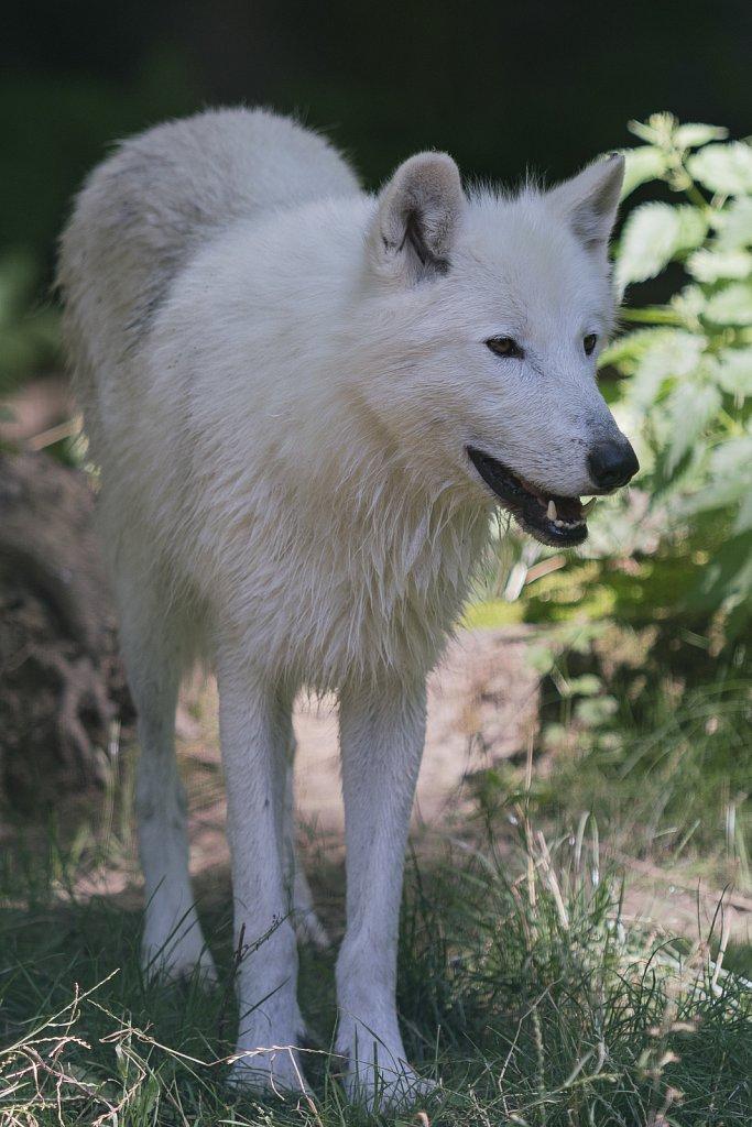 Wolf-18.jpg