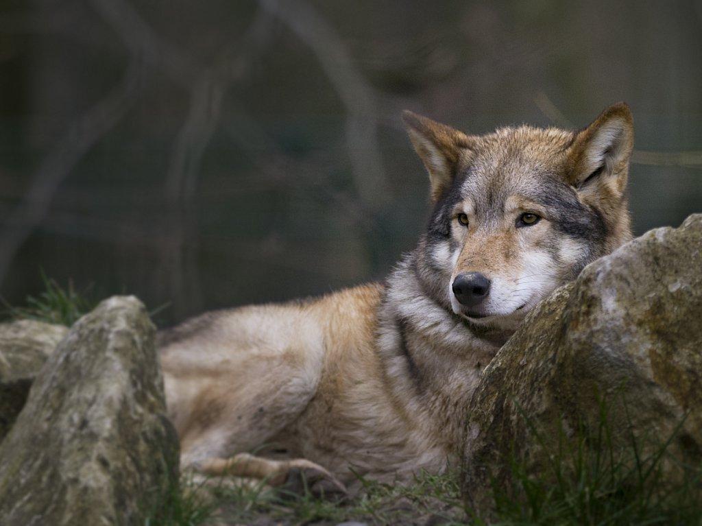 Wolf-14.jpg